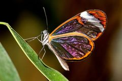 Glsaawing butterfly Royalty Free Stock Photo