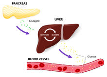 Glucagon glycogen and glucose. Glucagon is a hormone of the pancreas. The pancreas releases glucagon when blood glucose levels fall too low. Glucagon causes the Stock Photography