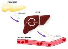 Glucagonglycogen und -glukose Stockfotografie