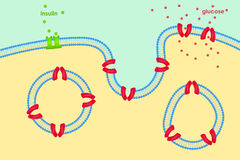 Glucose transport through cell membrane via Royalty Free Stock Images
