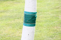 Glue strip. A green glue strip to protect a fruit tree Royalty Free Stock Photography