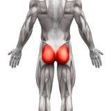 Gluteal мышцы/Gluteus Maximus - мышцы анатомии изолированные дальше Стоковое Изображение
