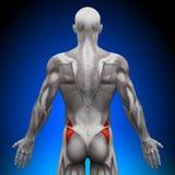 Glutes Medius - Anatomiespieren Stock Foto