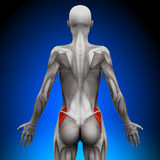 Glutes Medius - Female Anatomy Muscles. Glutes Medius - Female Human Anatomy Muscles vector illustration