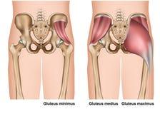 Gluteus τρισδιάστατη ιατρική απεικόνιση ανατομίας μυών στο άσπρο υπόβαθρο απεικόνιση αποθεμάτων