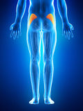 The gluteus minimus Royalty Free Stock Photos