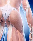 The gluteus muscle Stock Photo