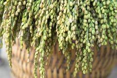 Glutinous дерево риса на крупном плане корзины weave Стоковые Изображения RF