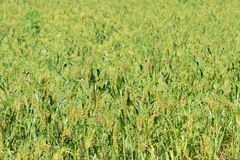 Glutinous broom corn Stock Images