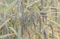 Glutinous rice Stock Photography