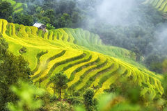 Glutinous rice terraces winding of the valley misty yellow Royalty Free Stock Images