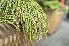 Glutinous rice tree on weave basket closeup.  Royalty Free Stock Photos