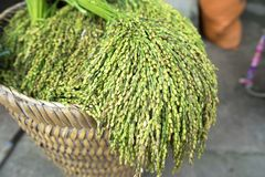 Glutinous rice tree on weave basket closeup.  Stock Image