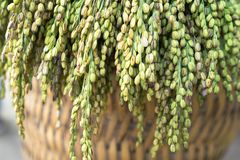 Glutinous rice tree on weave basket closeup.  Royalty Free Stock Images