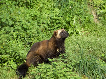 Glutton. A wolverine (wolverene) (gulo gulo) is the largest land-dwelling species of the Mustelidae (weasel stock images