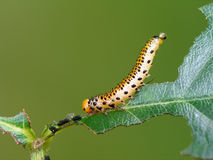 The glutton a caterpillar. Two objectives royalty free stock images
