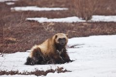 Glutton in the winter. The glutton sits in the winter on snow in Russia on Kamchatka royalty free stock photo