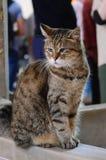 Gly猫,Hagia索非亚著名居民在伊斯坦布尔 库存照片