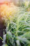 Glyceria maxima Variegata, long-term grass, ornamental grass, selective focus. nature wallpaper.  Stock Image