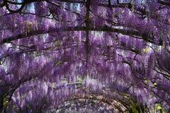 Glycine pourpre de floraison au jardin de Bardini à Florence images libres de droits