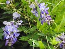 The Glycine violet. Glycine violet close-up on a background of green leaves Stock Images