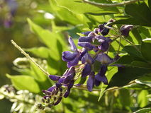 The Glycine violet. Glycine violet close-up on a background of green leaves Stock Photo