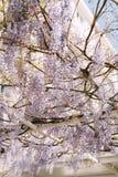 Glycines de floraison photo stock