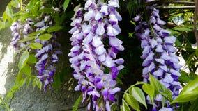 Glycyrrhiza ensolarado das flores do verão bonito da flor foto de stock
