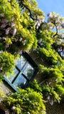 Glyine fleurit autour de la fenêtre dans Kensington, Londres Photos stock