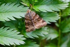 Glyphica di euclidia della farfalla di Brown Fotografie Stock