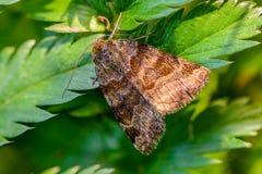 Glyphica di euclidia della farfalla di Brown Immagini Stock Libere da Diritti