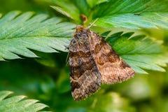 Glyphica di euclidia della farfalla di Brown Immagini Stock