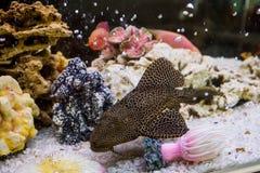 Glyptoperichthys gibbiceps (Леопардовый парчов. Photo of exotic fish in home aquarium Stock Image