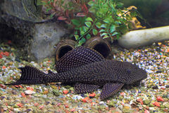 Glyptoperichthys gibbiceps close up. Glyptoperichthys gibbiceps. The leopard brocade som lies on soil in an aquarium Royalty Free Stock Photos