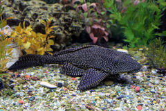 Glyptoperichthys gibbiceps Stock Photos