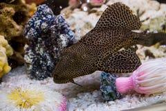 Glyptoperichthys gibbiceps. Photo of exotic fish in home aquarium Royalty Free Stock Image