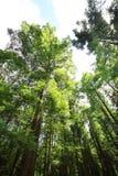 Glyptostroboides di Metasequoia Immagini Stock Libere da Diritti