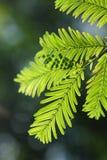 Glyptostroboides di Metasequoia Fotografia Stock
