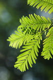 Glyptostroboides do Metasequoia Foto de Stock