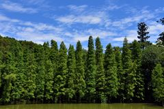 Glyptostrobus pensilis trees living in water Royalty Free Stock Photography