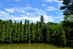 Glyptostrobus pensilis trees in water Stock Photography
