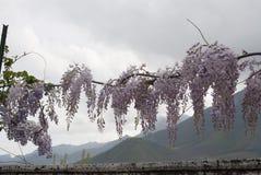 Glyzinie-Anlage in einem alten Hof mit anderen Blumen Lizenzfreies Stockfoto