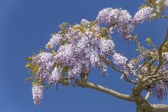Glyzinie blüht Blumen Lizenzfreies Stockbild