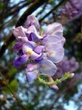 Glyzinie-Blüte Lizenzfreies Stockbild