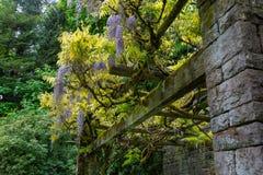 Glyzinie-Blumen, die auf Gitter mit Steinsäulen blühen Lizenzfreie Stockfotografie