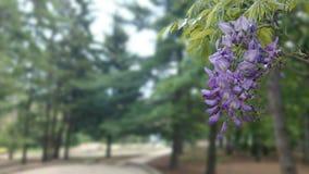 Glyzinie in der Blüte Stockfotografie