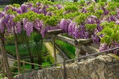 Glyzinie in der Blüte im Garten des Landhauses Rufalo in Ravello, Amalfi-Küste, Sorrent, Italien Stockfoto