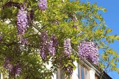 Glyzinie im botanischen Garten von Simferopol-Stadt, Krim Stockfotos
