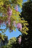 Glyzinie im botanischen Garten von Simferopol-Stadt, Krim Lizenzfreies Stockfoto