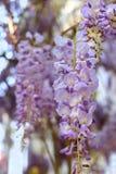 Glyzinie im botanischen Garten von Simferopol-Stadt, Krim Lizenzfreies Stockbild